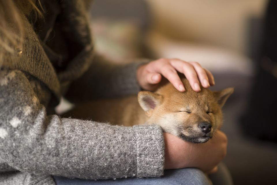 Shiba, Puppies, Dogs, Puppy, Shiba Inu, Japanese, Young