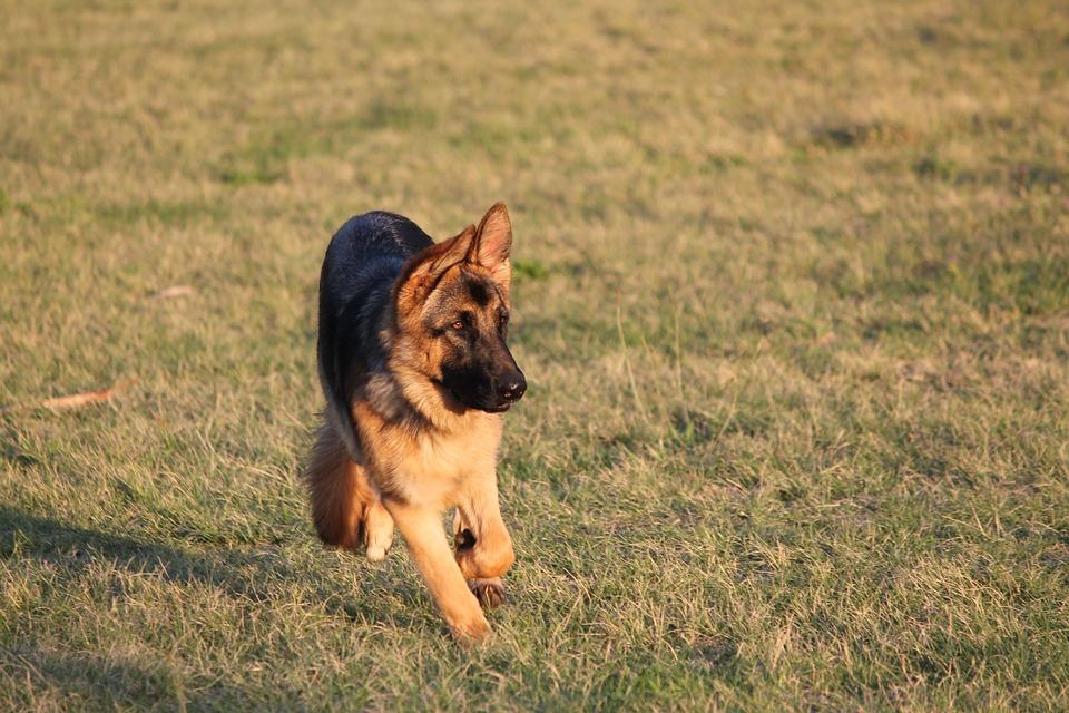 Dog, Alsatian, German Shepherd, Puppy, Purebred, Park