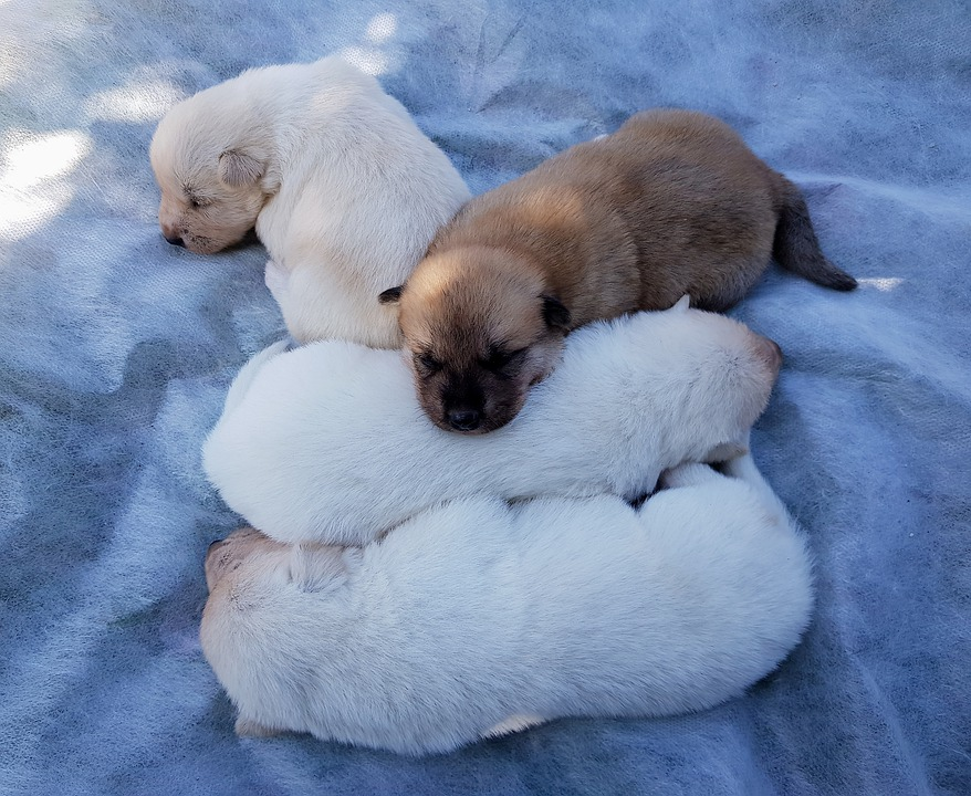 Puppy, Dog, Animal, Cute, Adorable, Little, White