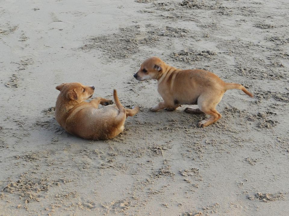 Puppy, Beach, Sand, Playing, Pet, Dog, Animal, Canine