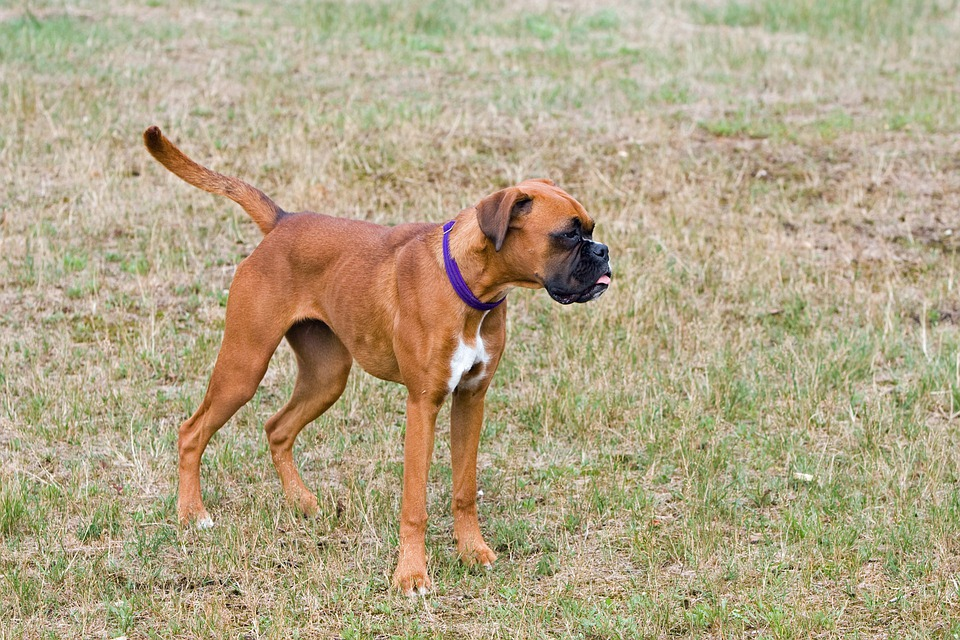 Boxer Dog, Boxer, Dog, Cute, Young, Puppy, Canine, Pet