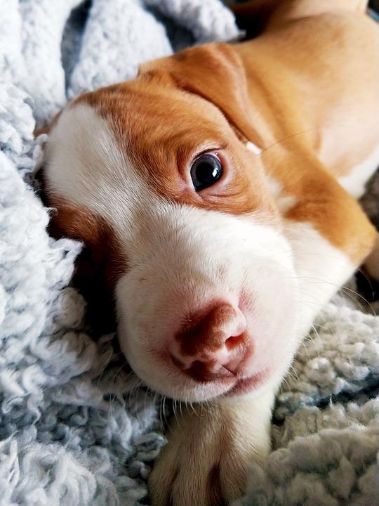 Puppy, Pitt Bull, Border Collie, Cute, Animal, Dog
