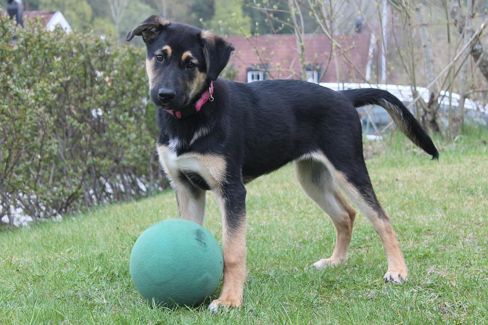 Puppy, Ball, Cute, Mix Breed