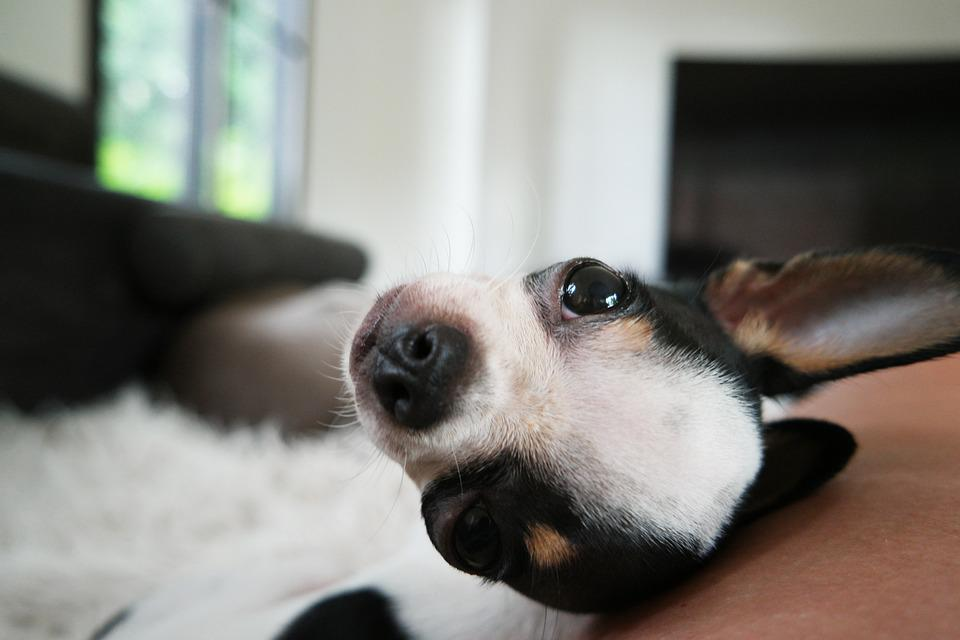 Dog, Chihuahua, P, Puppy, Cute, Small, Pet, Animal
