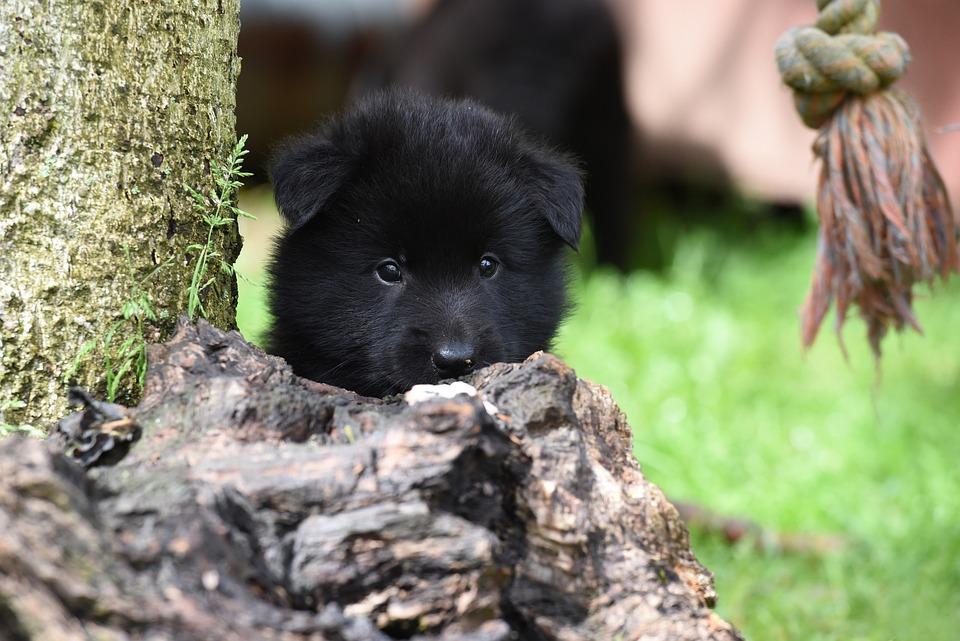 Puppy, Belgian Shepherd Dog, Dog, Pet