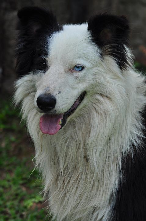 Dog, Animal, Puppy, Border-collie