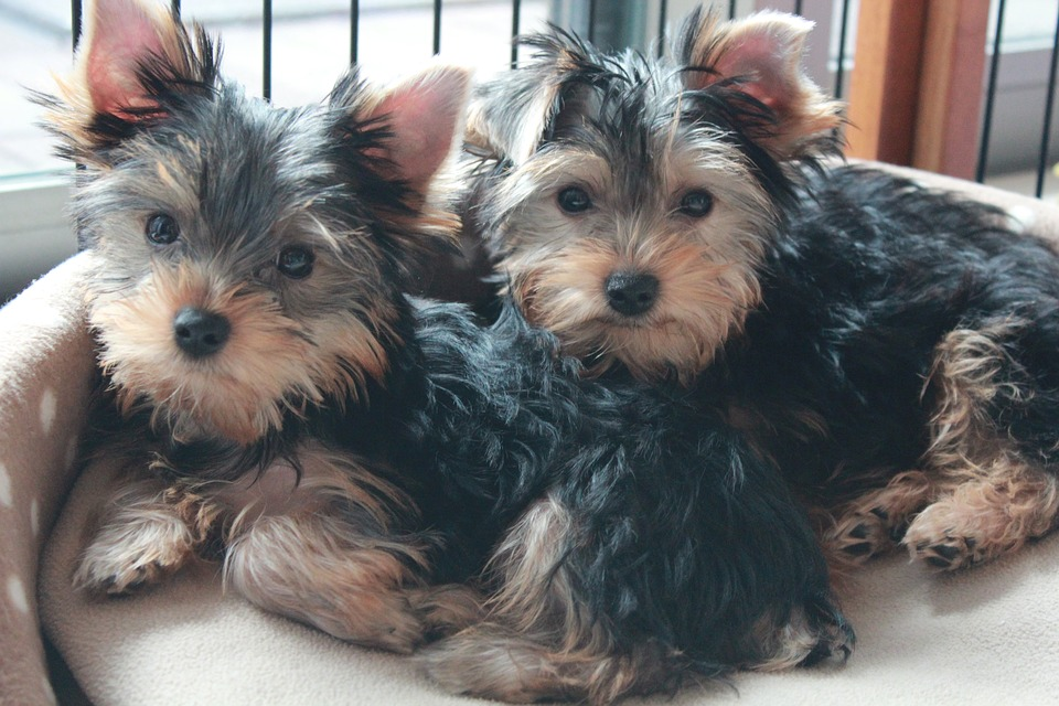 Yorkshire Terrier, Puppy, Dog Brothers