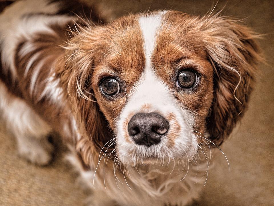 Dog, Puppy, Eyes, Pet, Animal, Cute, Canine, White