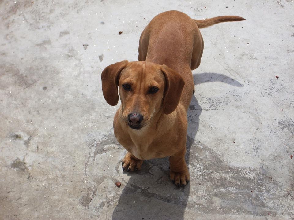 Dachshund, Dog, Puppy, Canine, Purebred, Domestic