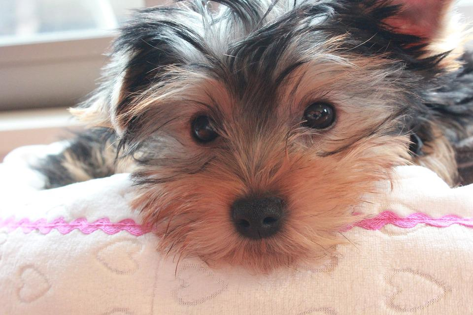 Yorkshire Terrier, Puppy, Dog Face