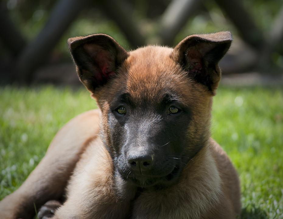Dog, Puppy, Cute, Belgian Shepherd, Animal, Garden