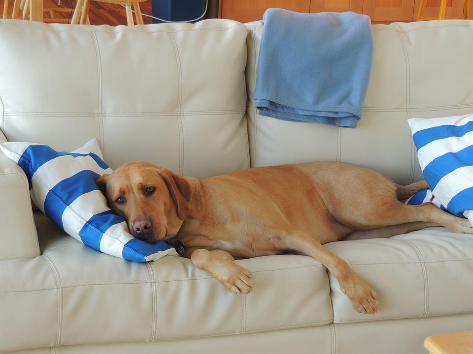Amazing Puppy Brown Adorable Dog - Puppy-Dog-On-Coach-Adorable-Dog-Sleeping-Labrador-2940446  Gallery_517745  .jpg