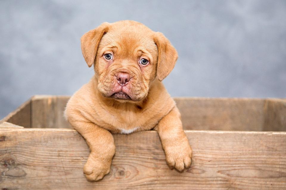 Dogue De Bordeaux, Puppy, Dogs, Sweet, Cute