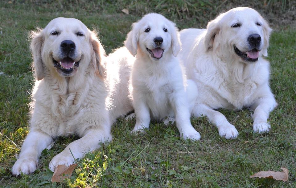 Golden Retriever, Dogs, Puppy, Female, Guide Dog Blind