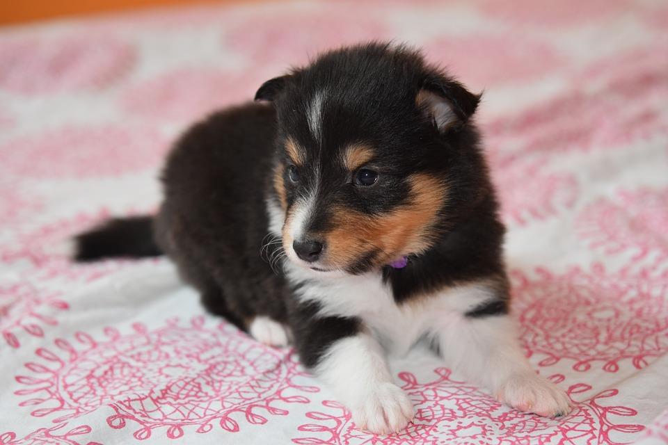 Puppy, Puppy Shetland Sheepdog, Puppy Female, Canine