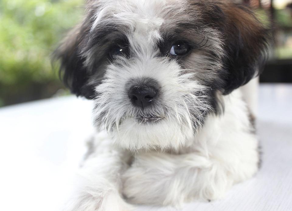 Puppy, Chicko, Dog, Pet, Cute, Flu, Animal, Happy