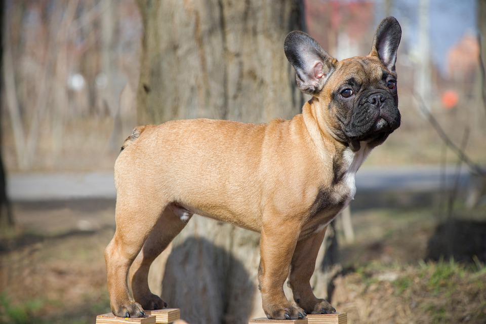 French Bulldog, Funny, Dog, Puppy, Pet, Animal, Cute