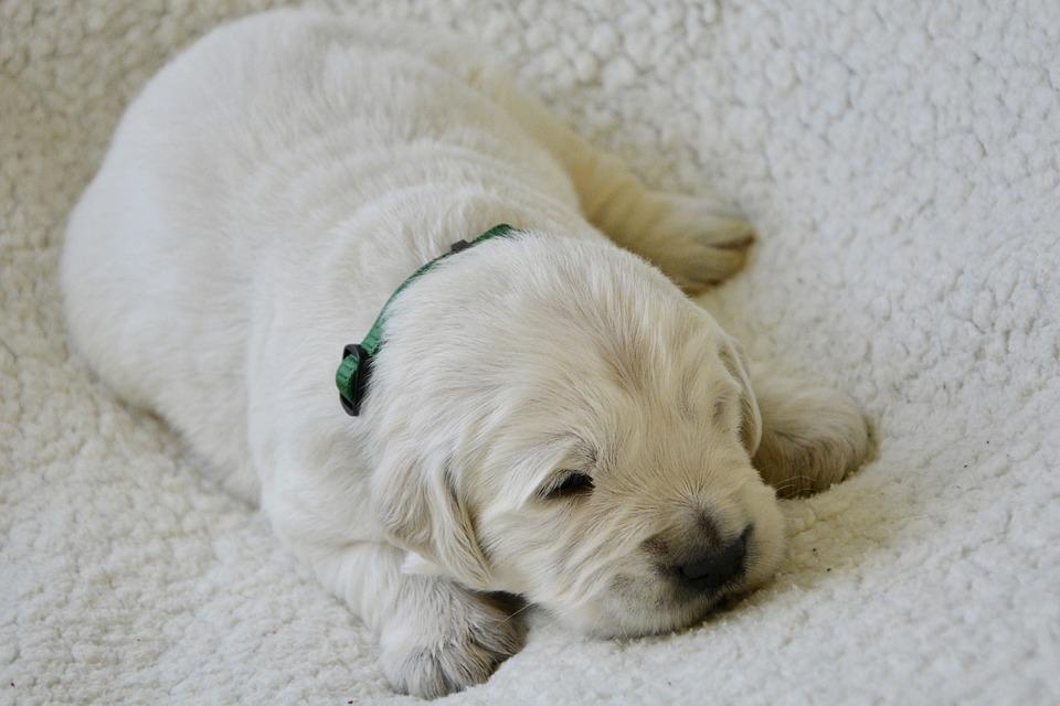 Puppy, Golden Retriever Puppy, Puppy Female Grey