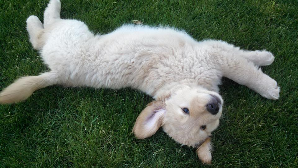 Golden Retriever, Dog, Puppy, Pet, Canine, Happy, Young