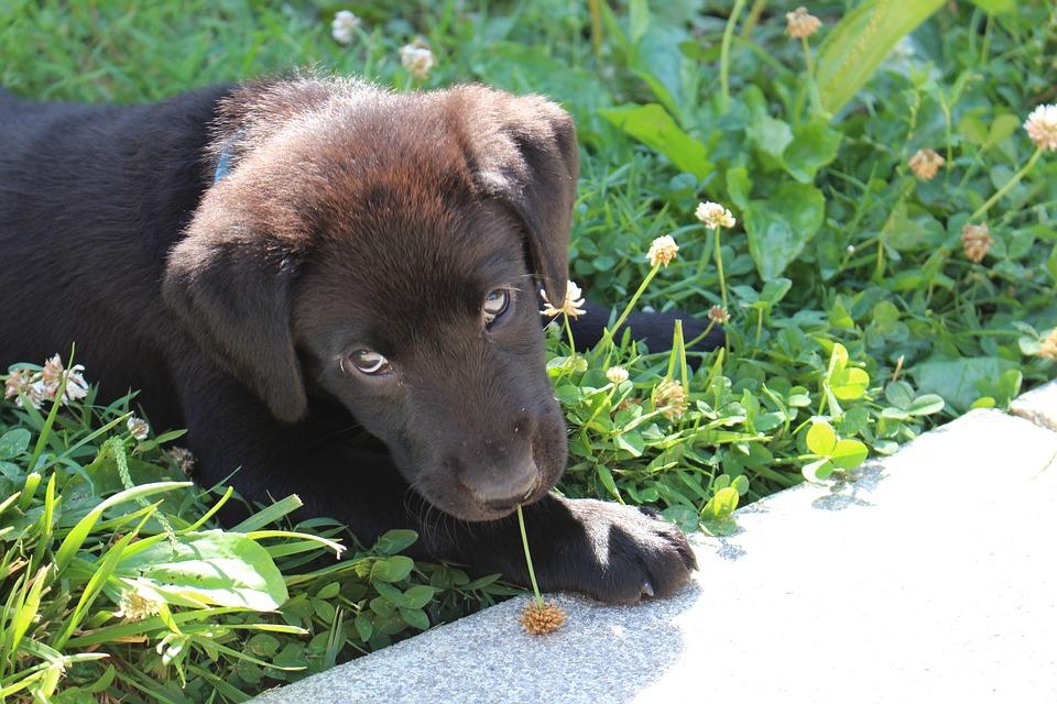 Puppy, Black, Labrador, Cute, Pet, Retriever, Adorable