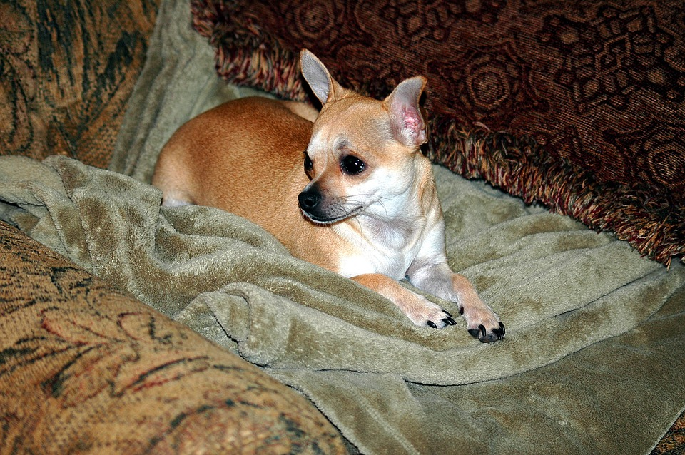 Cute, Chihuahua, Puppy, Dog, Pet, Animal, Mammal