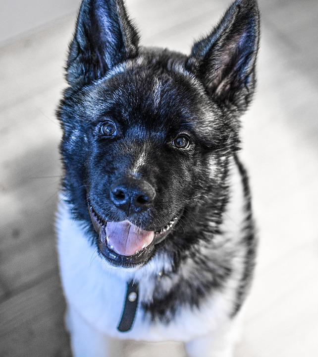 Dog, Puppy, American Akita, Pet, Animal, Cute, Canine