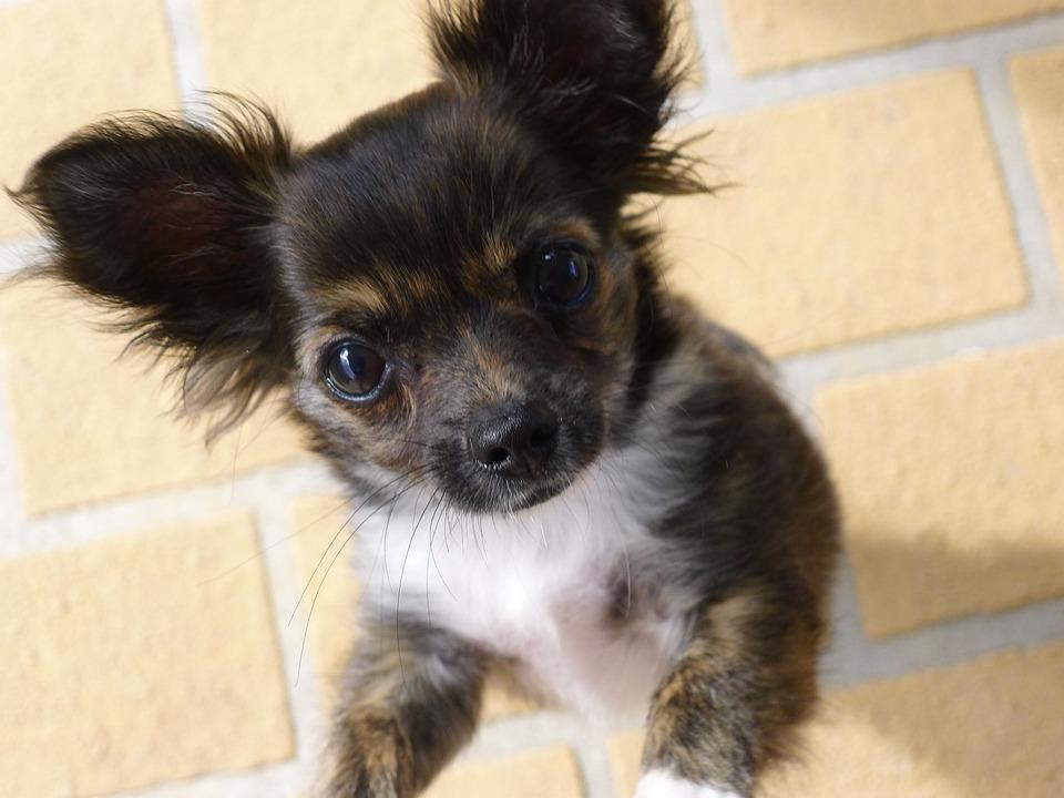 Chihuahua, Long-haired Chihuahua, Puppy, Cute, Purebred