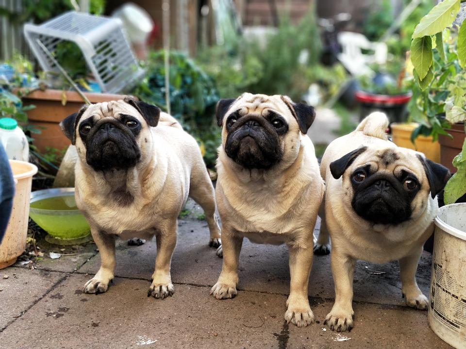 Top Pug Canine Adorable Dog - Puppy-Waiting-Pugs-Puppies-Garden-Cute-Dogs-Pug-2498921  Picture_757325  .jpg