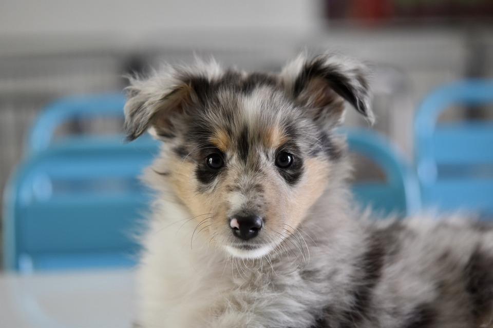 Dog, Puppy, Young Bitch Priscilla