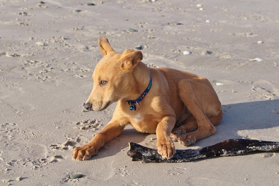 Dog, Young, Puppy, Beach, Batons, Hybrid