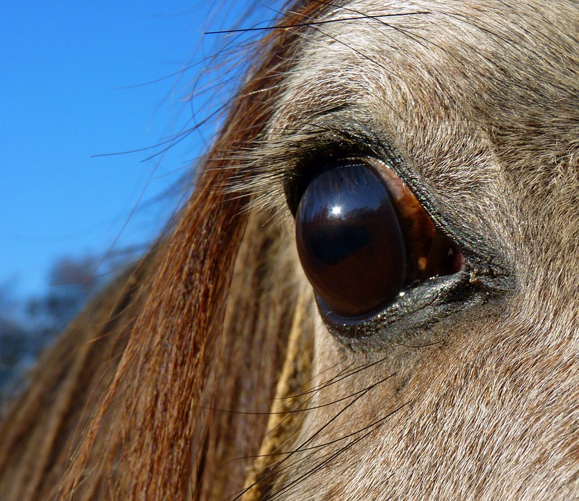 Horse, Pure Arab Blood, Equine, Head, Look, Eye