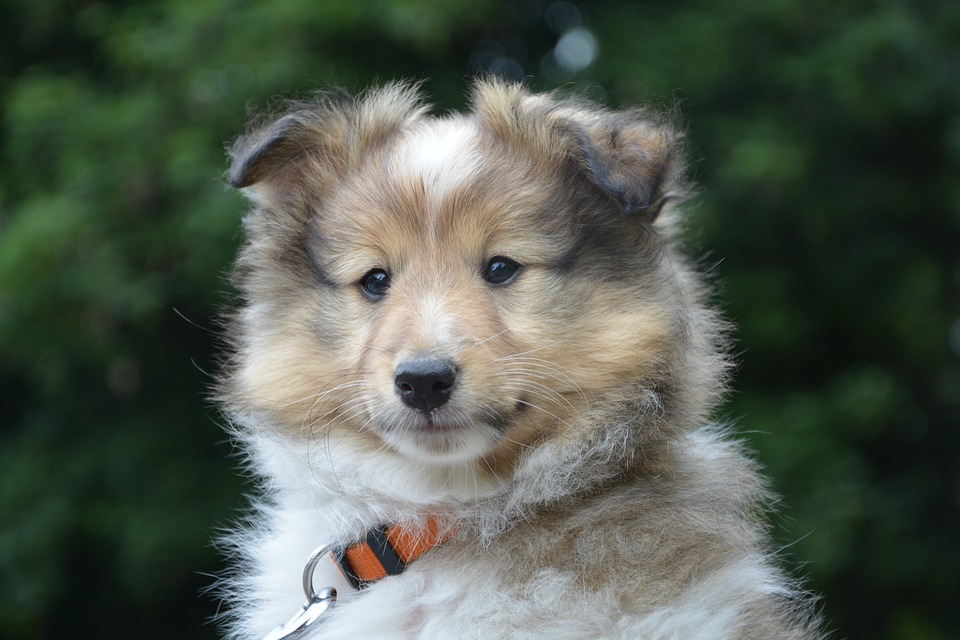 Puppy, 9semaines, Shepherd Shetland, Lof, Pure-breed