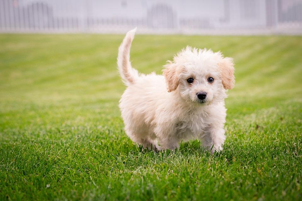 Puppy, Dog, Mammal, Cute, Small, Adorable, Purebred