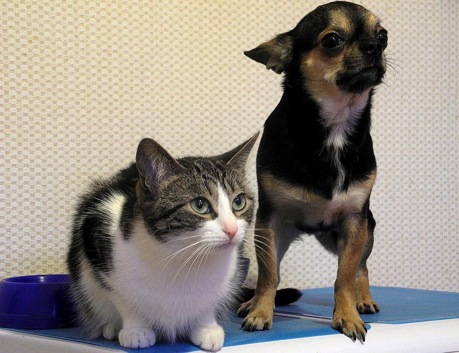 Pets, Dog, Chia-hua-hua, Cat, Purebred, Friends