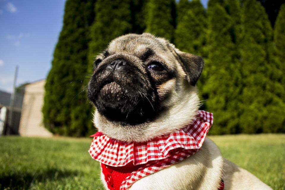 Pug, Portrait, Cute, Dog, Animal, Pet, Funny, Purebred