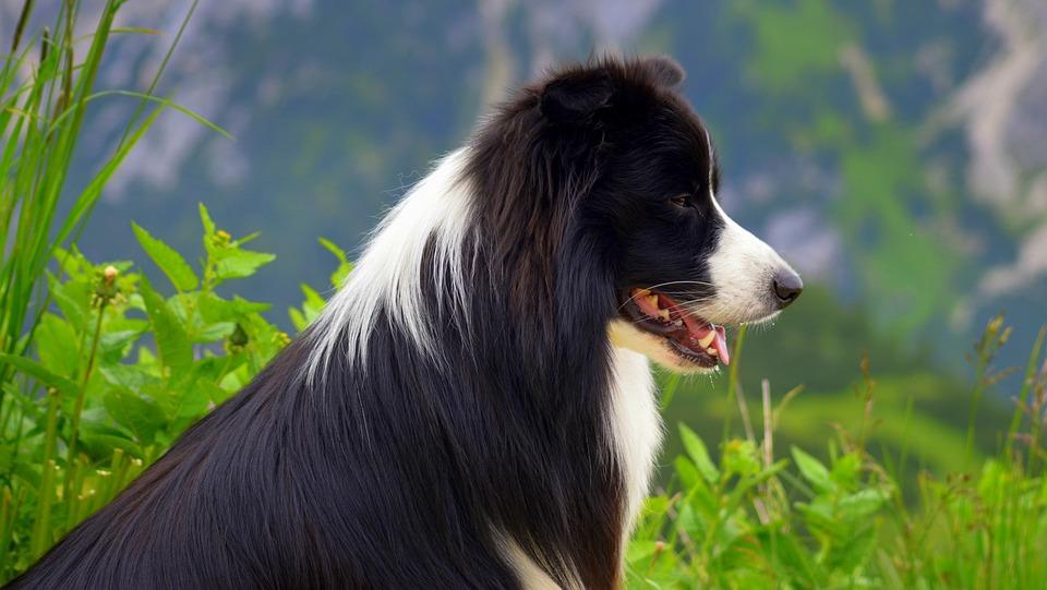 Dog, British Sheepdog, Border Collie, Purebred Dog