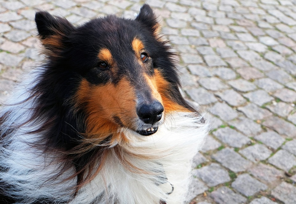 Dog, Collie, Purebred Dog, Sitting, Old