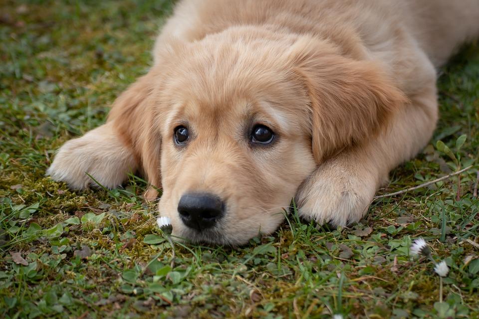 Dog, Puppy, Golden Retriver, Purebred Dog, Dog Look