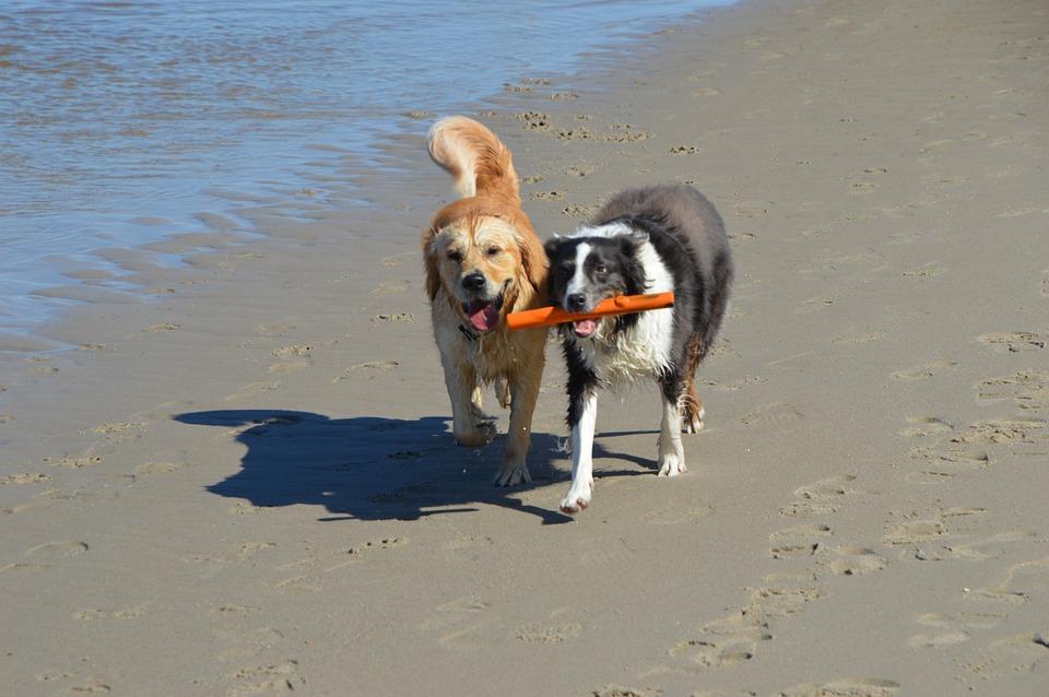 Dogs, Golden Retriever, Pet, Purebred Dog