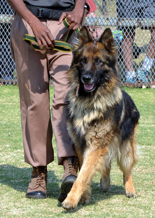 Dog Training, Obedience, Purebred
