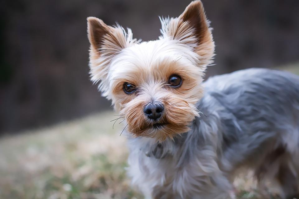Yorkshire Terrier, Purebred Dog, Small, Yorki, Yorkie