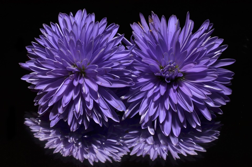 free photo purple aster flower  max pixel, Beautiful flower