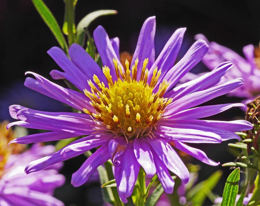 Aster Flower, Purple, Golden Yellow, Stamens