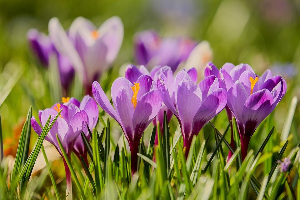 Crocus, Back Light, Sunlight, Flowers, Bloom, Purple