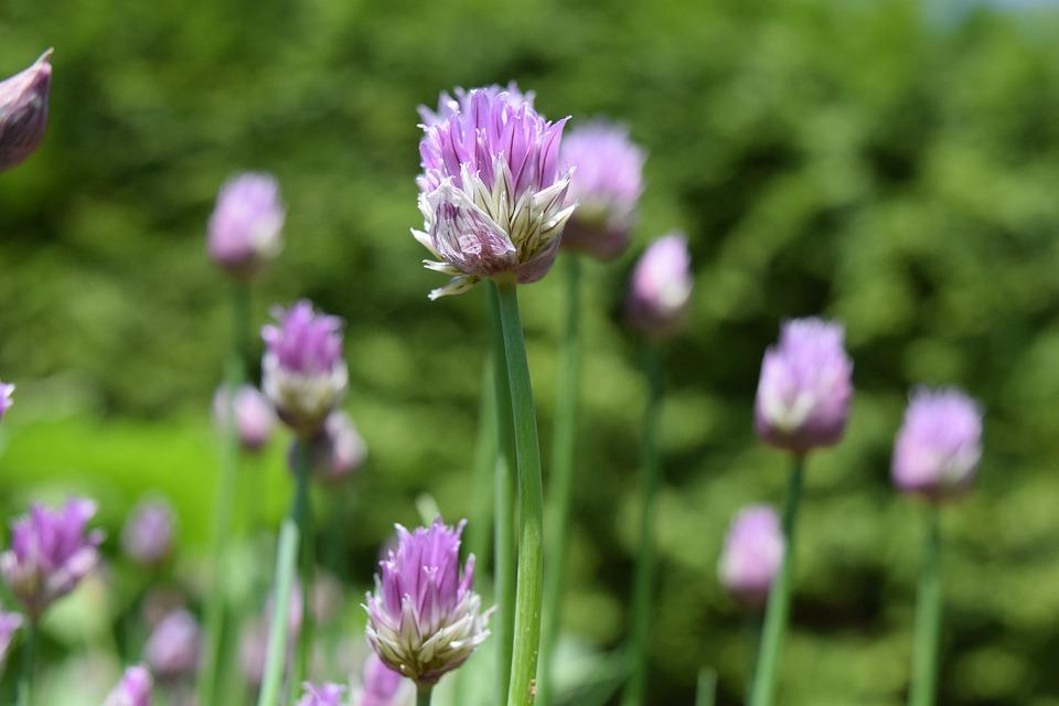 Chives, Blossom, Bloom, Close, Purple, Chive Flowers