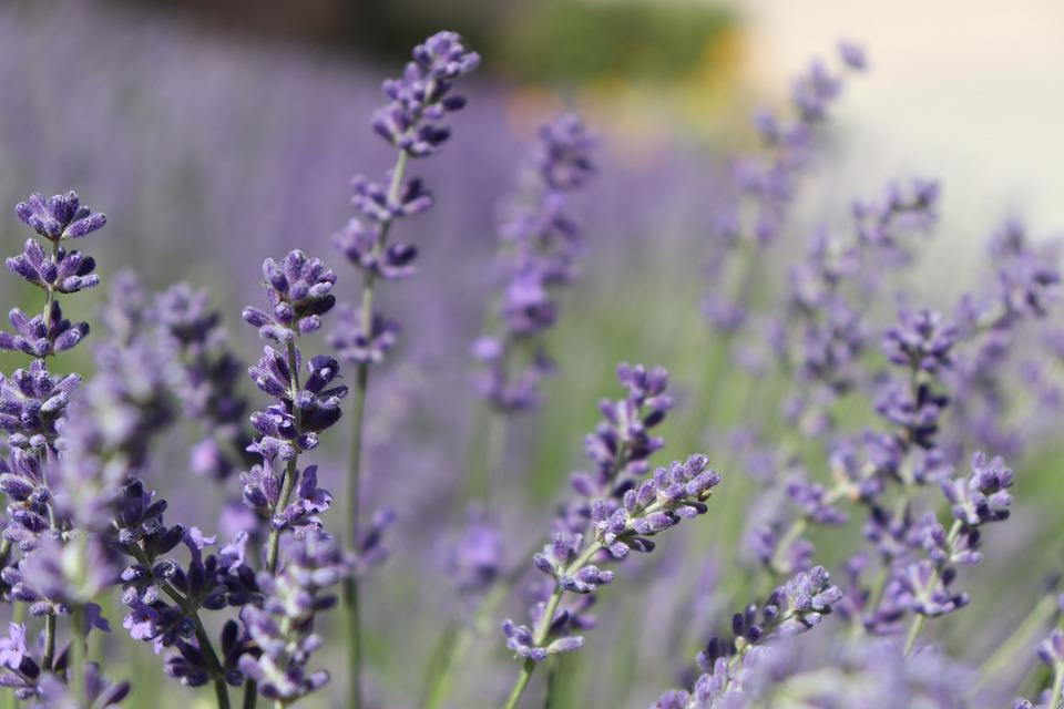 Lavender, Flowers, Purple, Herbal, Bloom, Herb, Floral