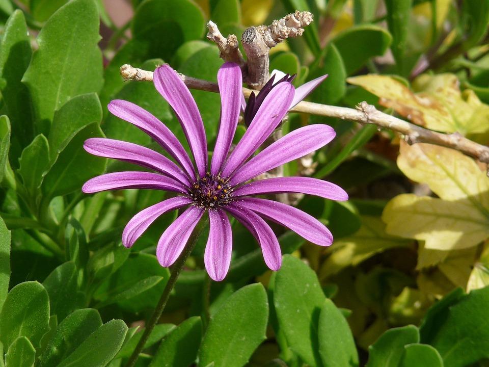Bloom, Flower, Daisy, Purple, Nature, Blossom, Plant