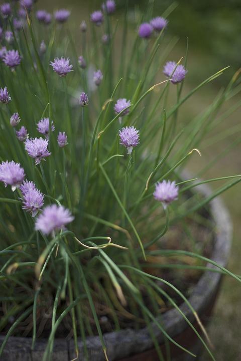 Chive, Blooming, Flower, Plant, Herb, Purple, Summer
