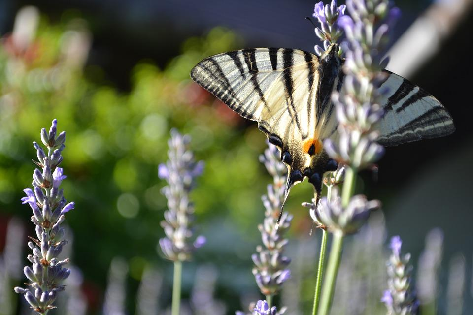 Butterfly, Nature, Flower, Wing, Lavender, Blue, Purple