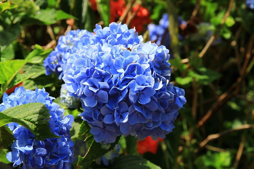 Hydrangea, Purple Blue